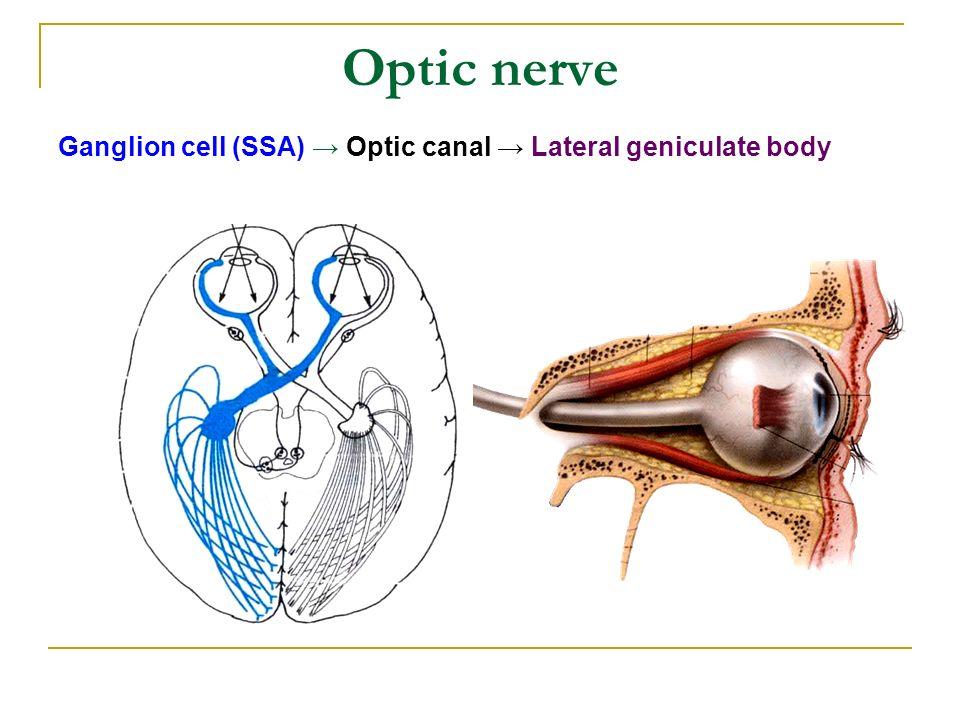 Erfreut Optic Kanalanatomie Galerie - Menschliche Anatomie Bilder ...