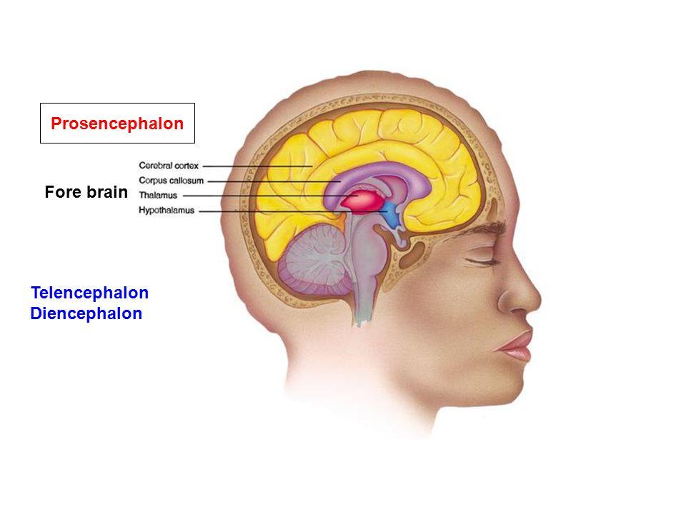 Mesencephalon Rhombencephalon Metancephalon Myelencephalon ...