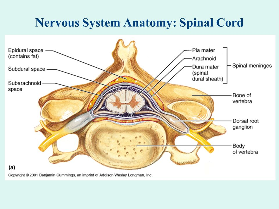 Nervous System Anatomy Neuron Ppt Download
