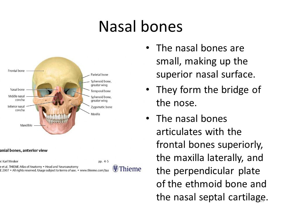 Nose Surface Anatomy Anatomy Physiology Of The Respiratory System