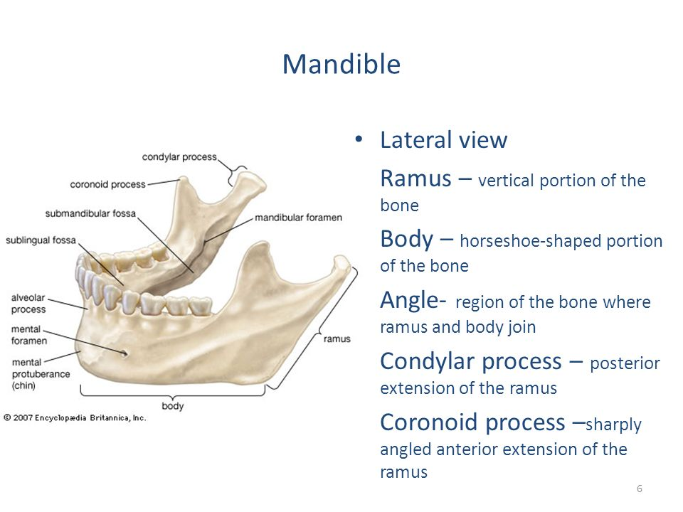 Coronoid process of the mandible  Wikipedia