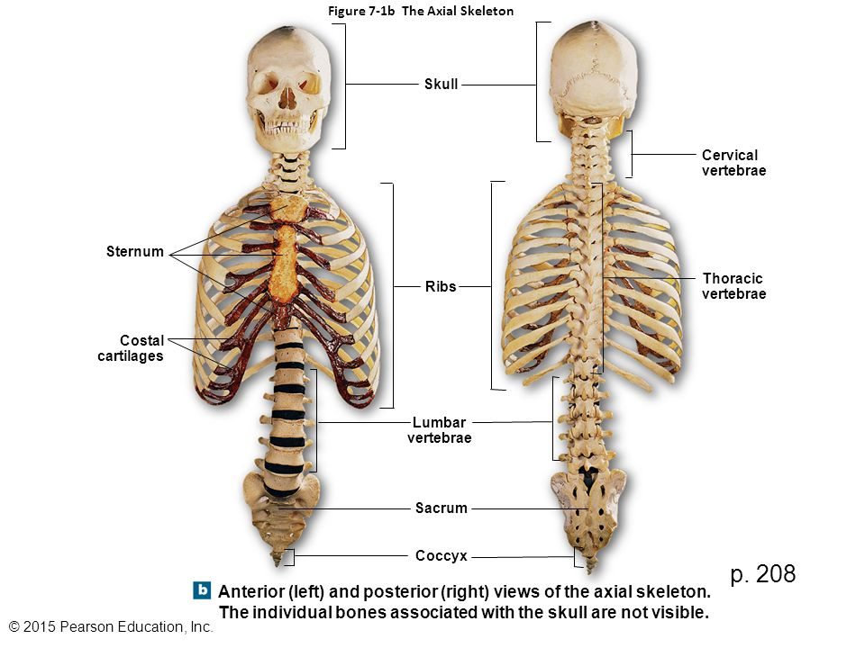 figure 7-1a the axial skeleton - ppt video online download, Skeleton