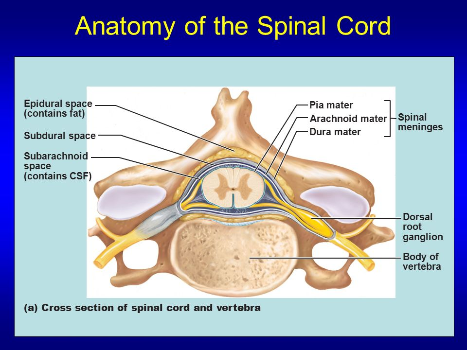 Anatomy Of Epidural Space