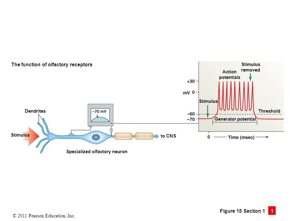 "action potential and receptor olfactory receptor ""compare the mechanisms producing action potentials at a sensory receptor and   olfactory receptors respond via selective surface receptors to odorants in the."