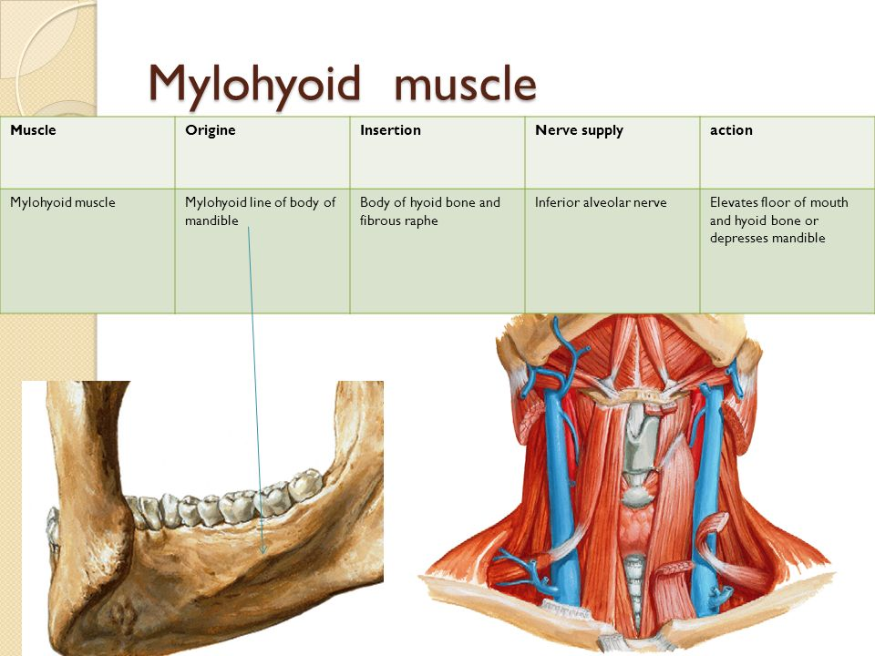 Mylohyoid Muscle Images - Reverse Search