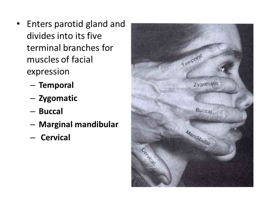 Enters parotid gland and divides into its five terminal branches for muscles of facial expression