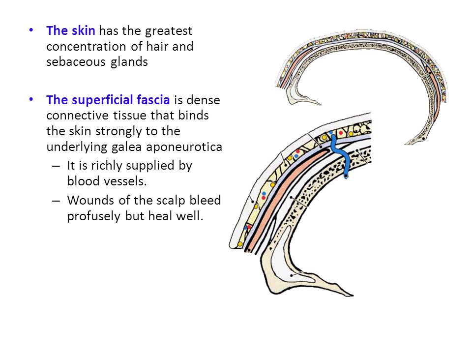 The skin has the greatest concentration of hair and sebaceous glands