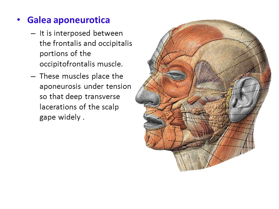 Galea aponeurotica It is interposed between the frontalis and occipitalis portions of the occipitofrontalis muscle.