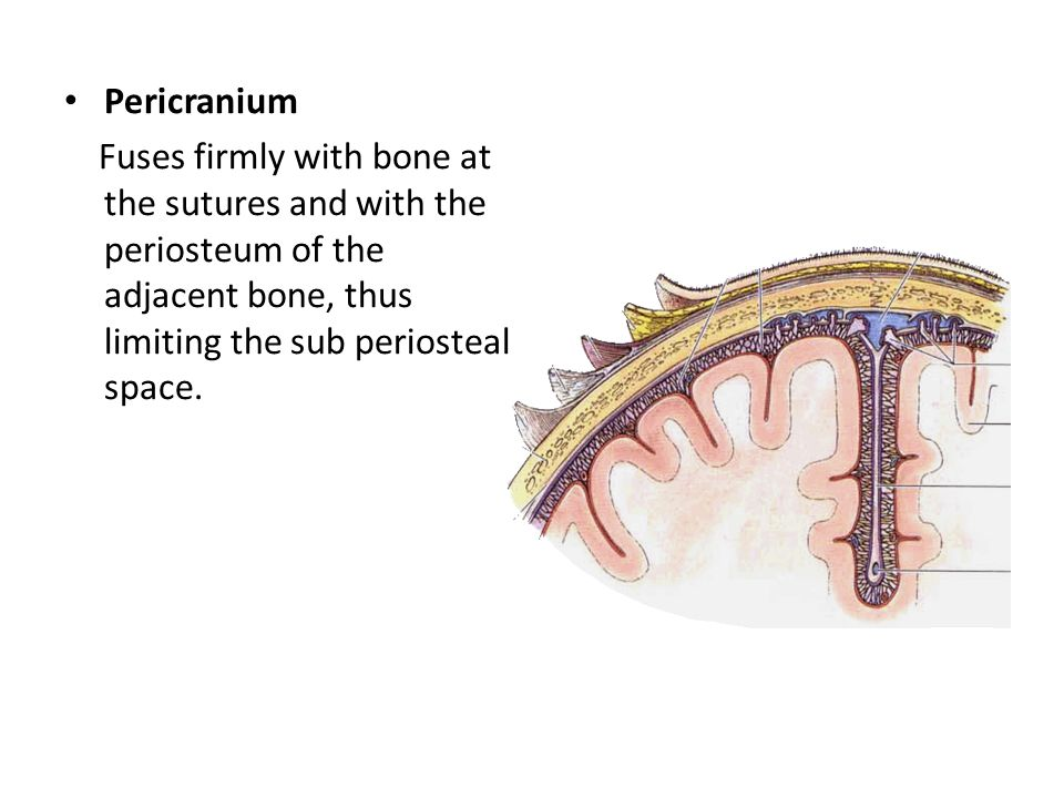 Pericranium Fuses firmly with bone at the sutures and with the periosteum of the adjacent bone, thus limiting the sub periosteal space.