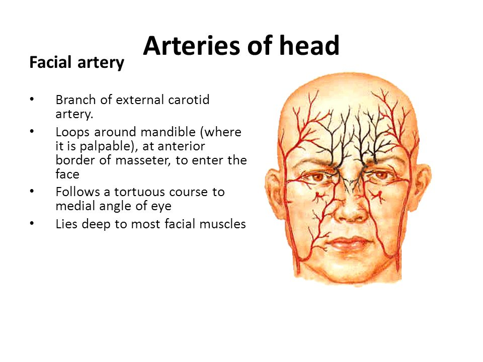 Arteries of head Facial artery Branch of external carotid artery.