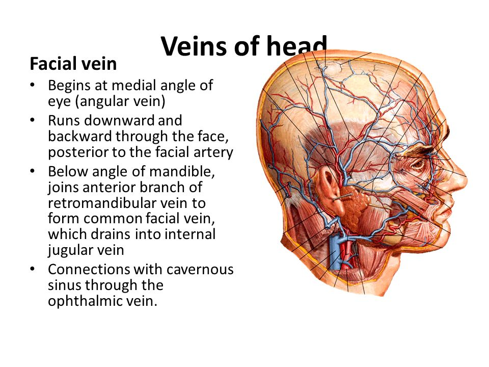 Veins of head Facial vein Begins at medial angle of eye (angular vein)