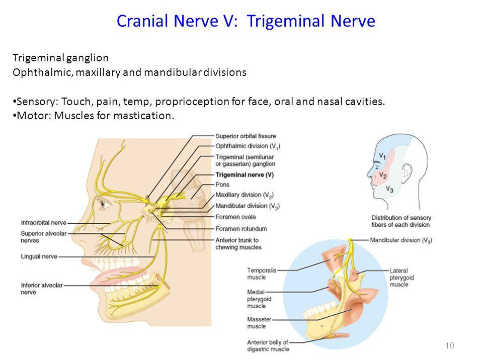 Cranial cavity nerves