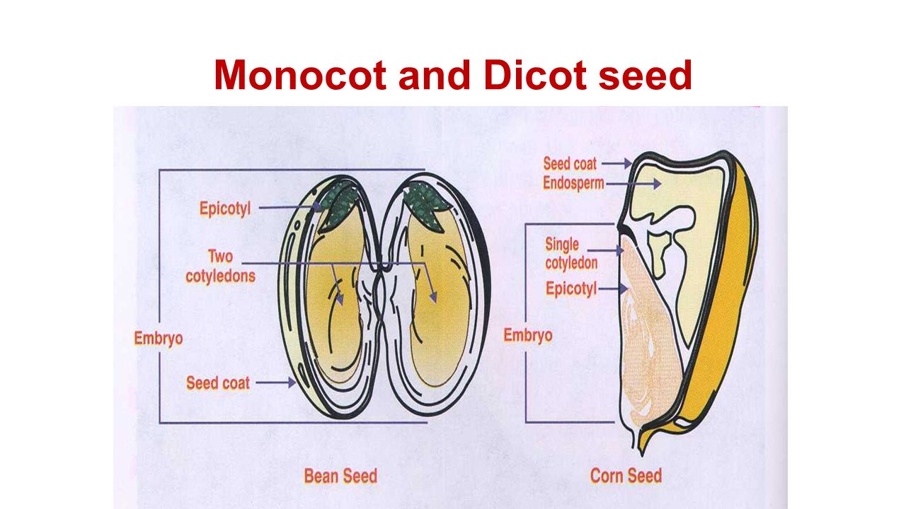 Oku okzu 1 qy oa cht ppt download 13 monocot and dicot seed pooptronica