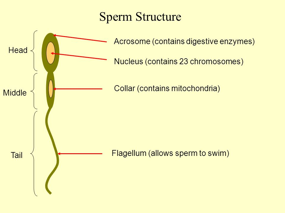 Her Human sperm cell contains 23 chromosones Ann one