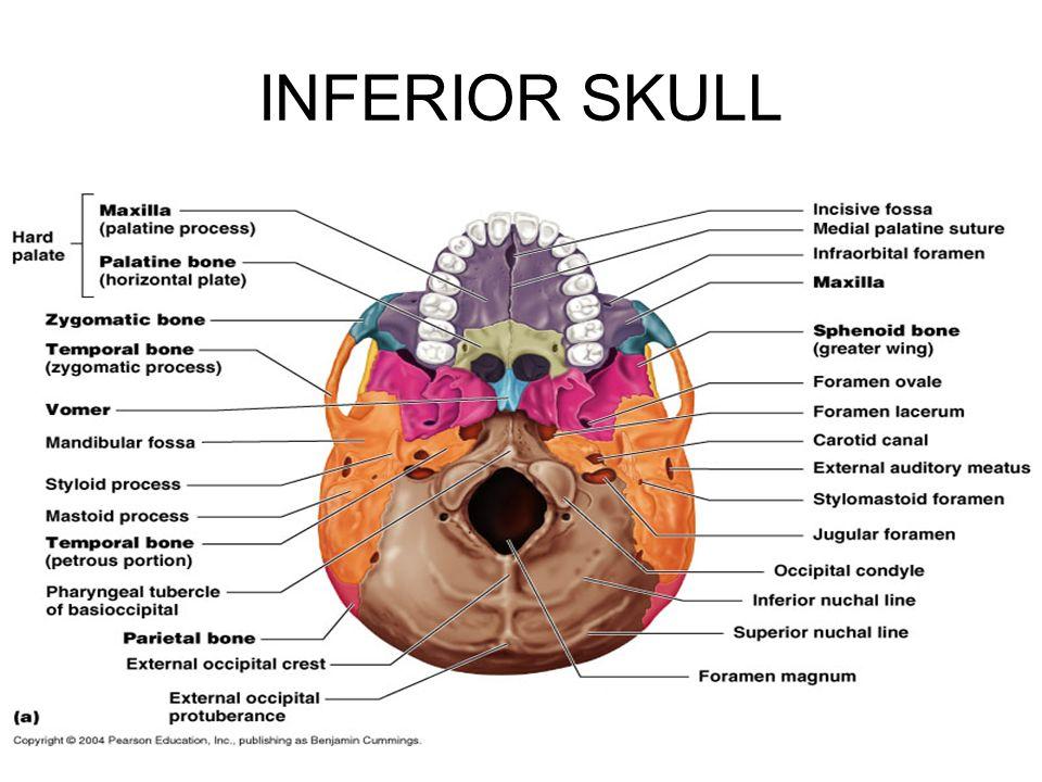 Base of skull anatomy