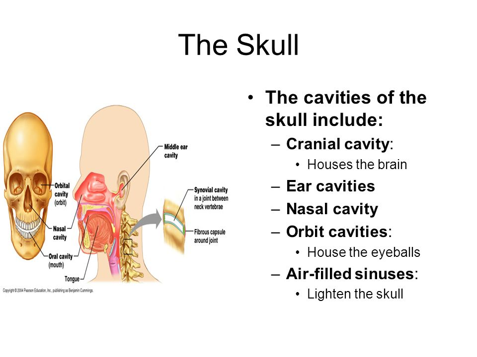 The skeleton ppt download for Floor of nasal cavity