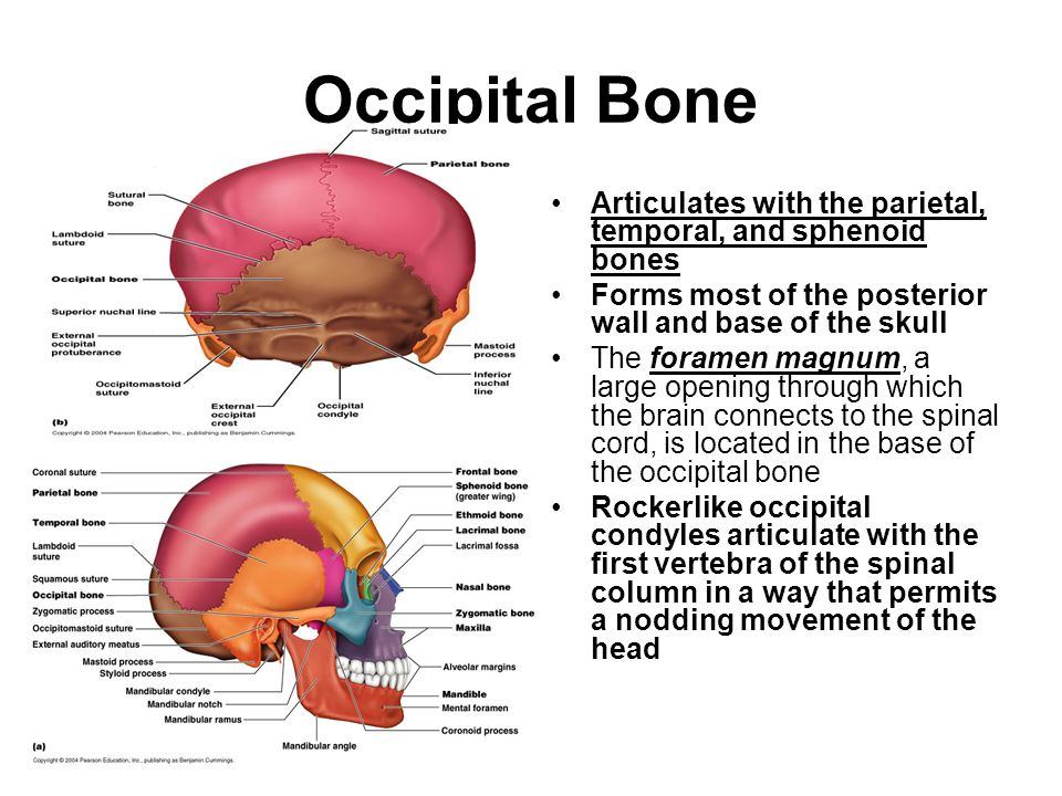 sphenoid bone imbalance – citybeauty, Human Body