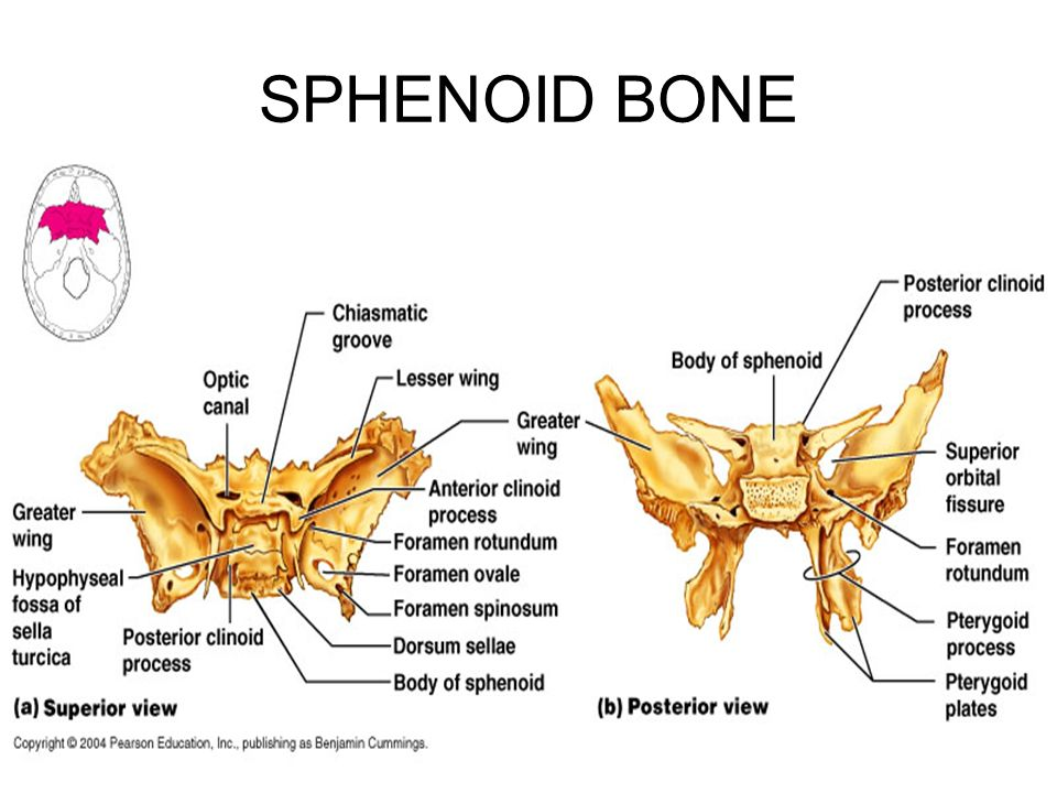 sphenoid bone foramen rotundum – localprivate, Human Body