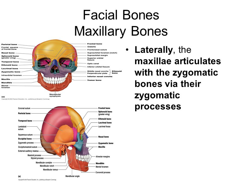 the skeleton. - ppt download, Human Body