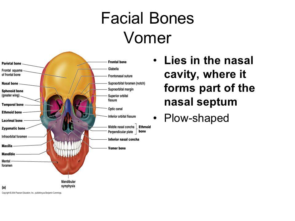 which bones form the nasal septum - People.davidjoel.co
