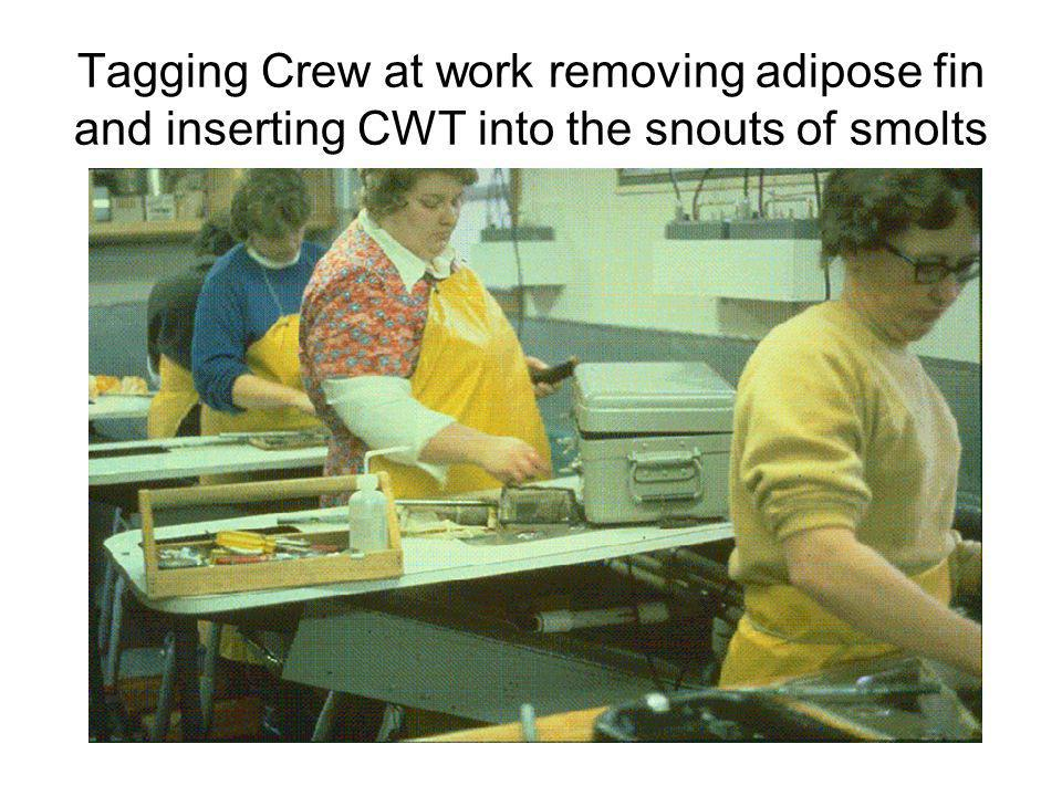 Tagging Crew at work removing adipose fin and inserting CWT into the snouts of smolts