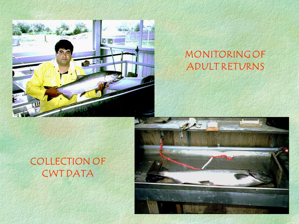 MONITORING OF ADULT RETURNS COLLECTION OF CWT DATA
