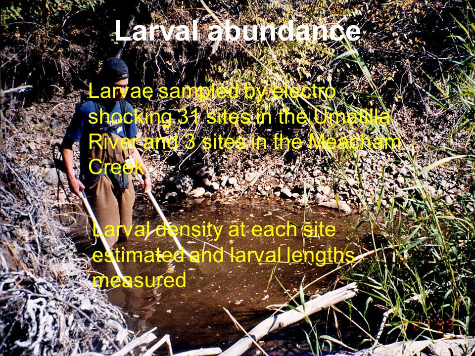 Larval abundance Larvae sampled by electro shocking 31 sites in the Umatilla River and 3 sites in the Meacham Creek.