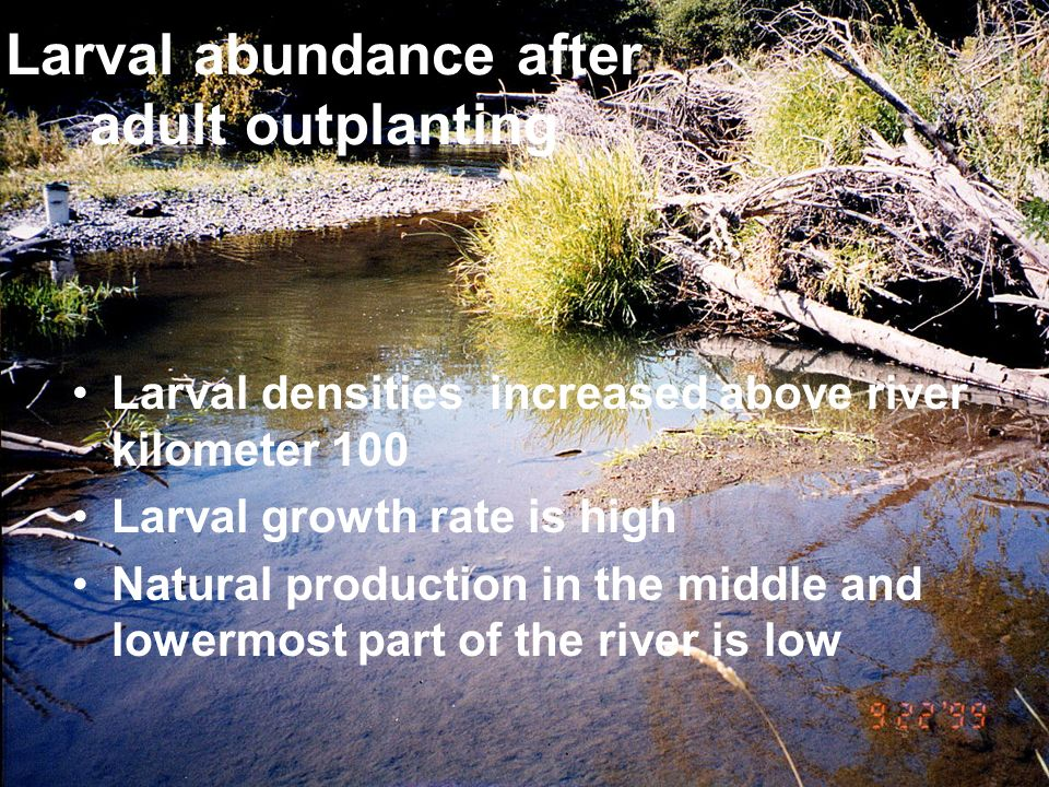 Larval abundance after adult outplanting