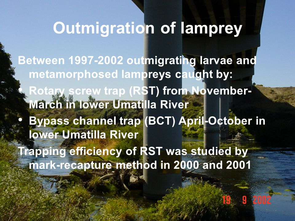 Outmigration of lamprey