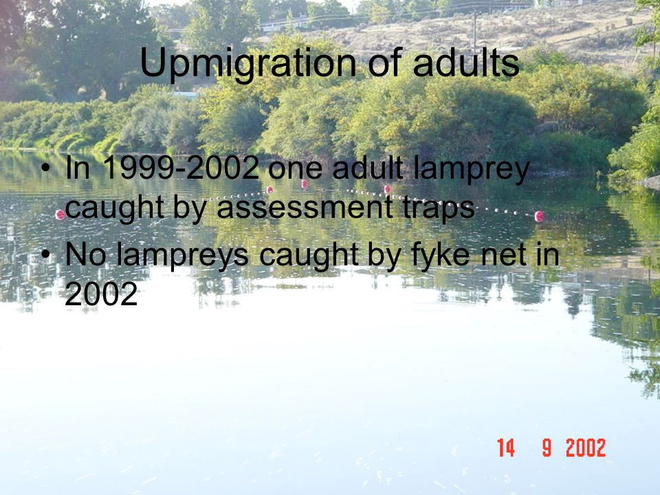 Upmigration of adults In 1999-2002 one adult lamprey caught by assessment traps.