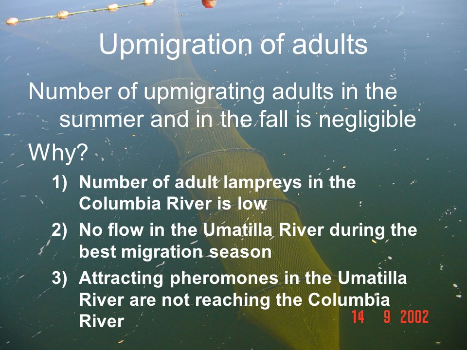 Upmigration of adults Number of upmigrating adults in the summer and in the fall is negligible. Why