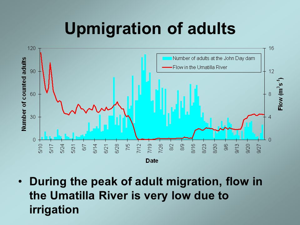 Upmigration of adults During the peak of adult migration, flow in the Umatilla River is very low due to irrigation.
