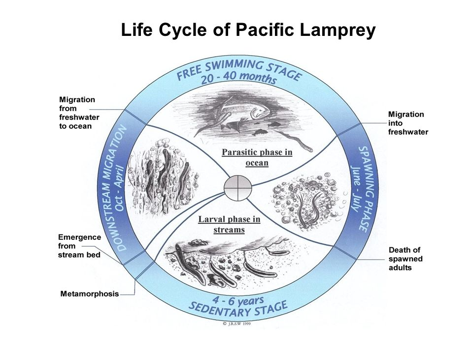 Life cycle of Pacific lamprey