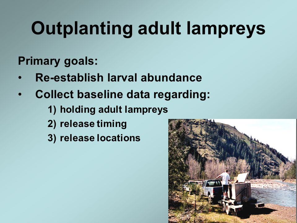 Outplanting adult lampreys