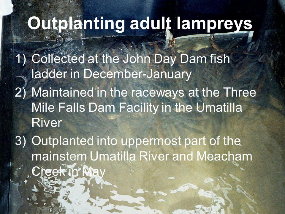 Outplanting adult lampreys