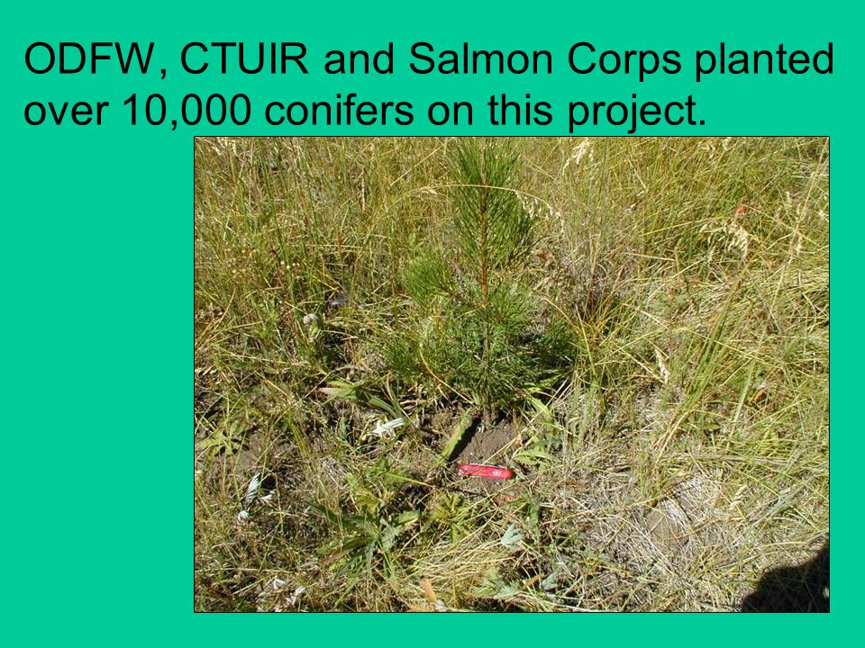 ODFW, CTUIR and Salmon Corps planted over 10,000 conifers on this project.