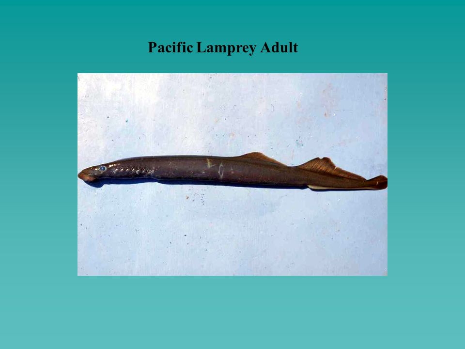 Pacific Lamprey Adult