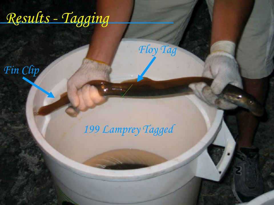 Results - Tagging Floy Tag Fin Clip 199 Lamprey Tagged
