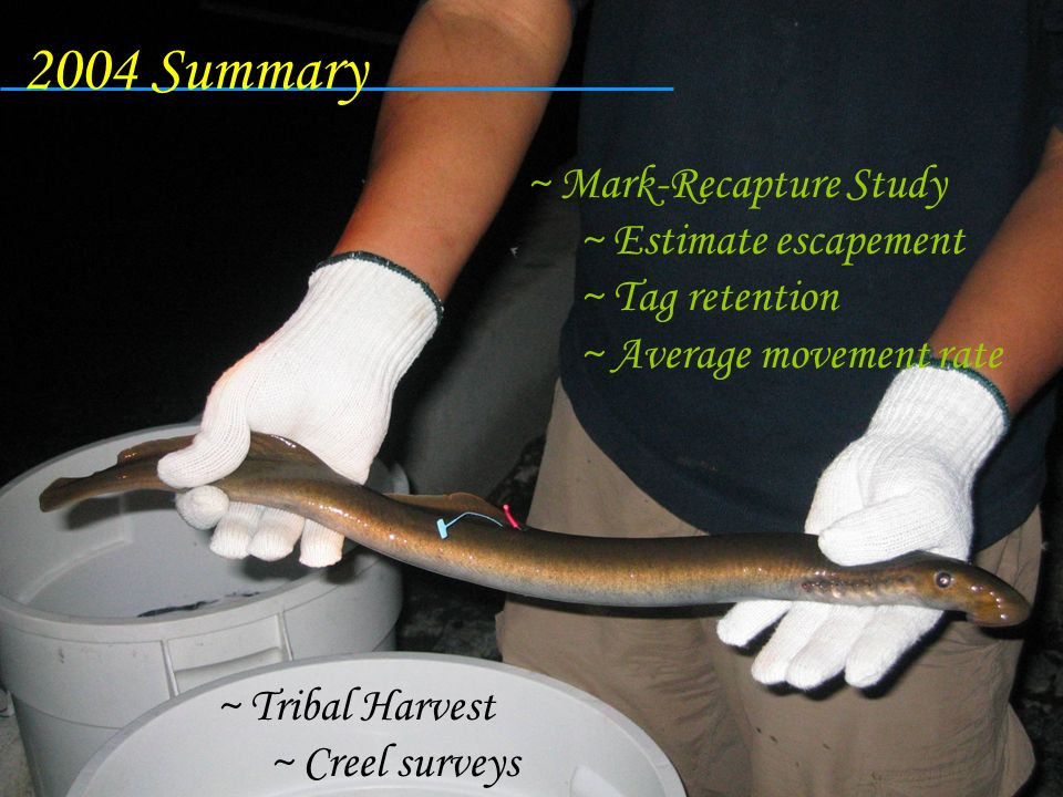 2004 Summary Mark-Recapture Study Estimate escapement Tag retention