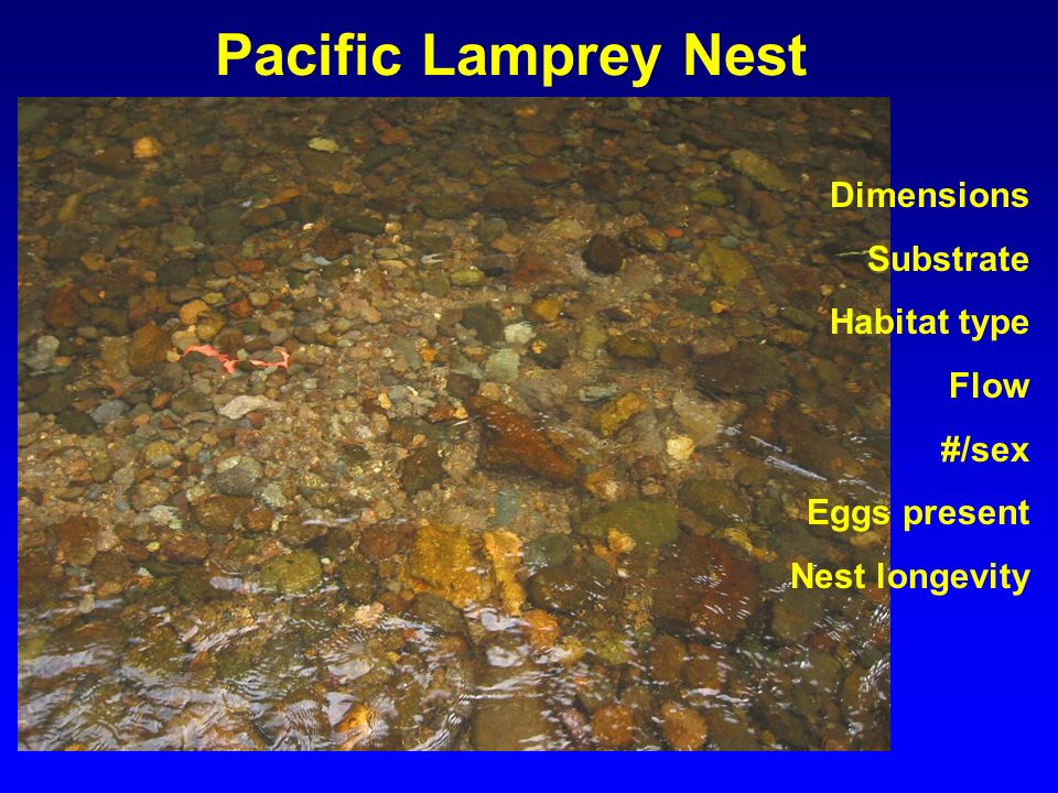 Pacific Lamprey Nest Dimensions Substrate Habitat type Flow #/sex