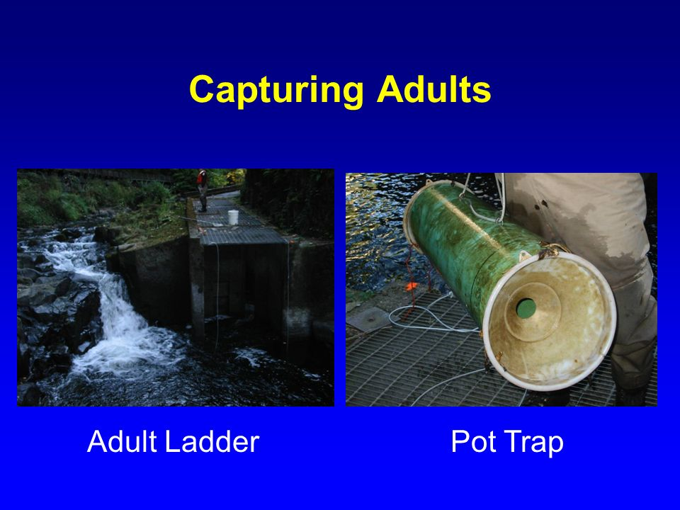 Capturing Adults Adult Ladder Pot Trap