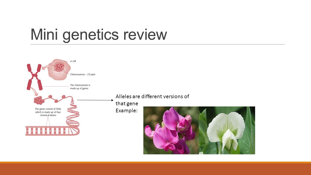 Mini genetics review Alleles are different versions of that gene