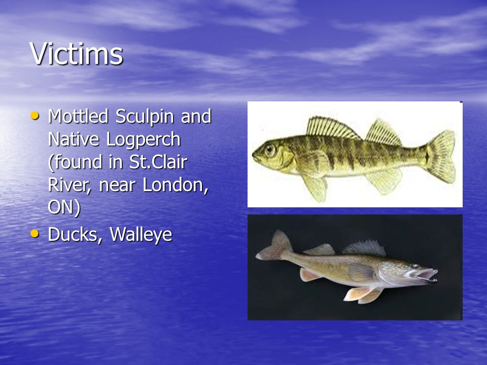 Criminal #1 The Round Goby - ppt download