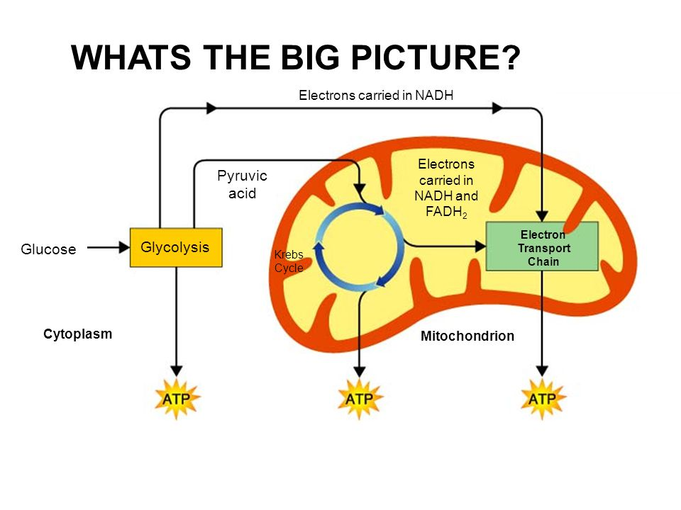 Krebs cycle electron transport chapter ppt video online download figure 92 cellular respiration an overview ccuart Choice Image