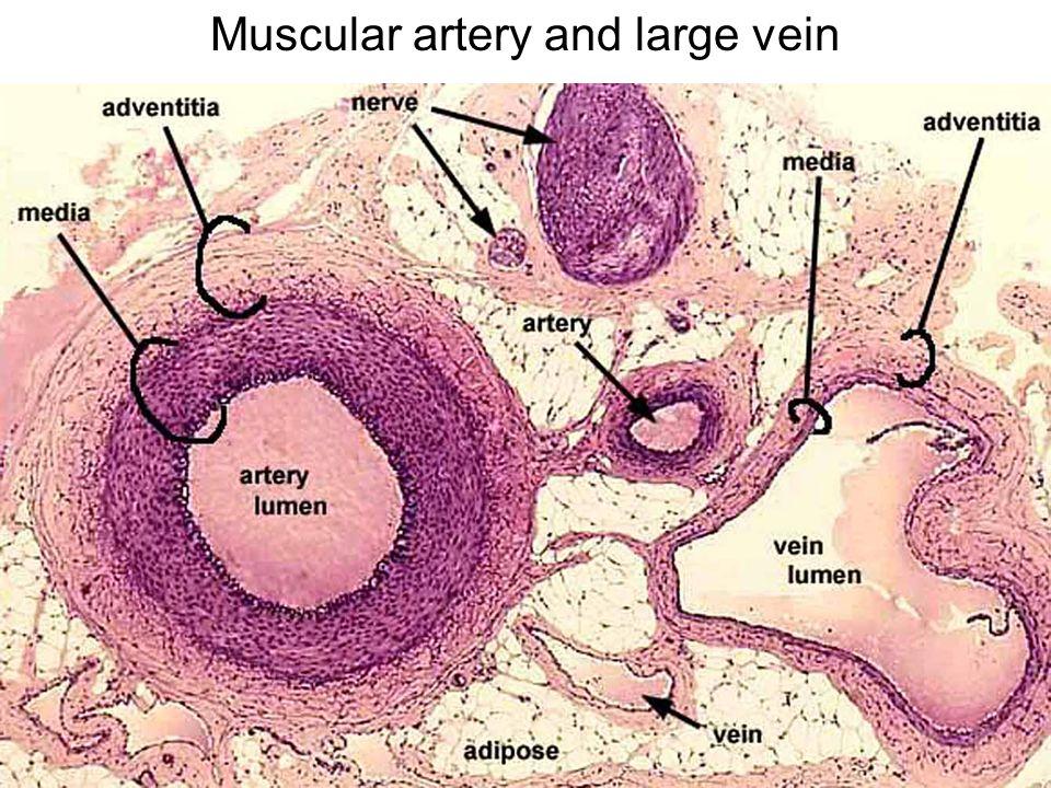 blood erythrocytes  rbc