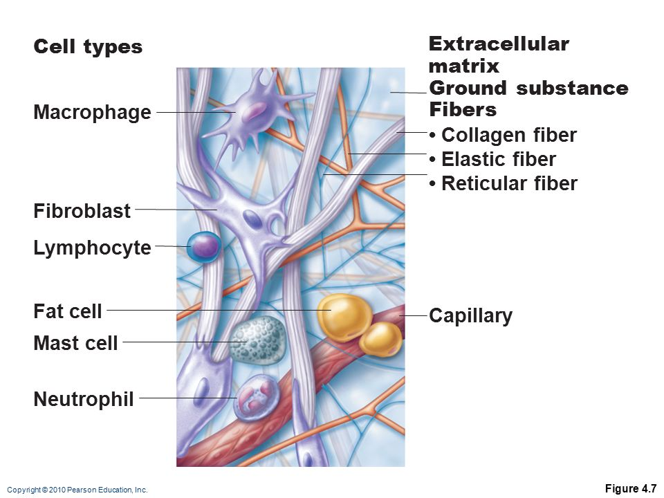 Connective Tissue. - ppt video online download