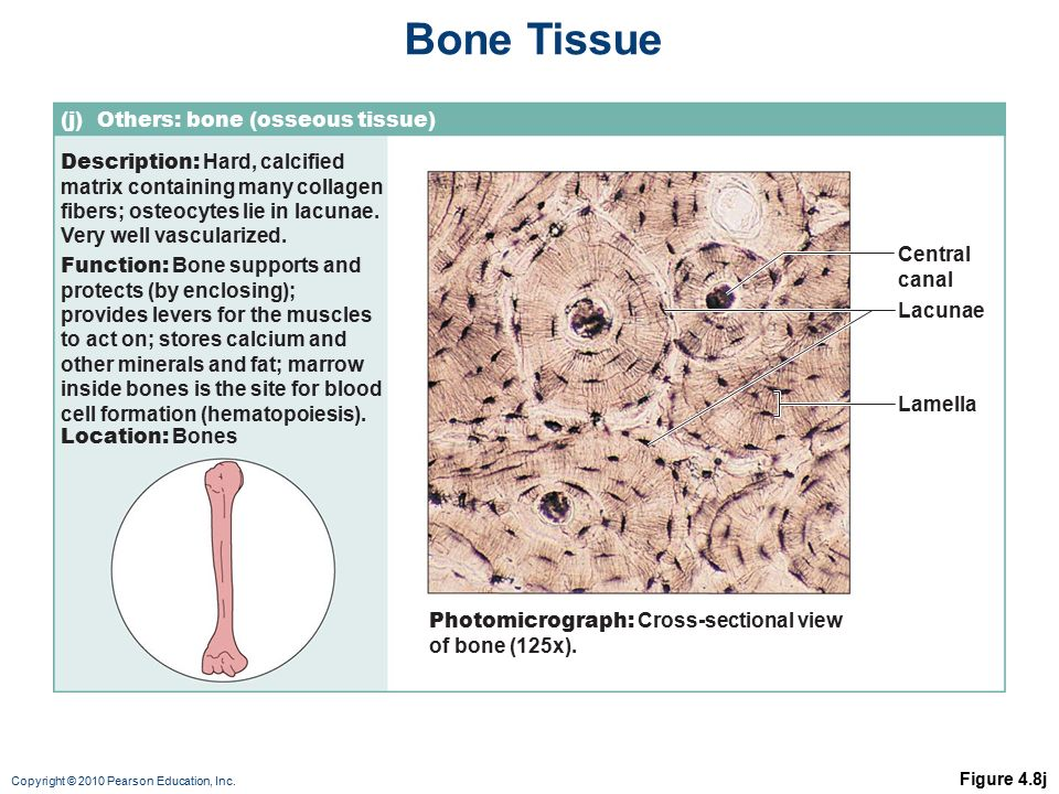 Bone Cells - Types and Function | Bone and Spine