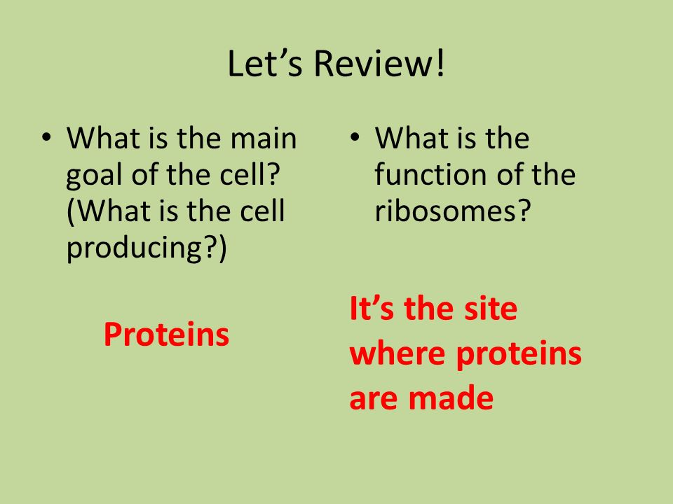 Let's Review! It's the site where proteins are made Proteins