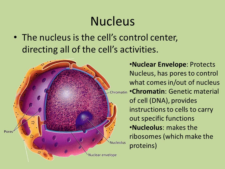 Nucleus The nucleus is the cell's control center, directing all of the cell's activities.