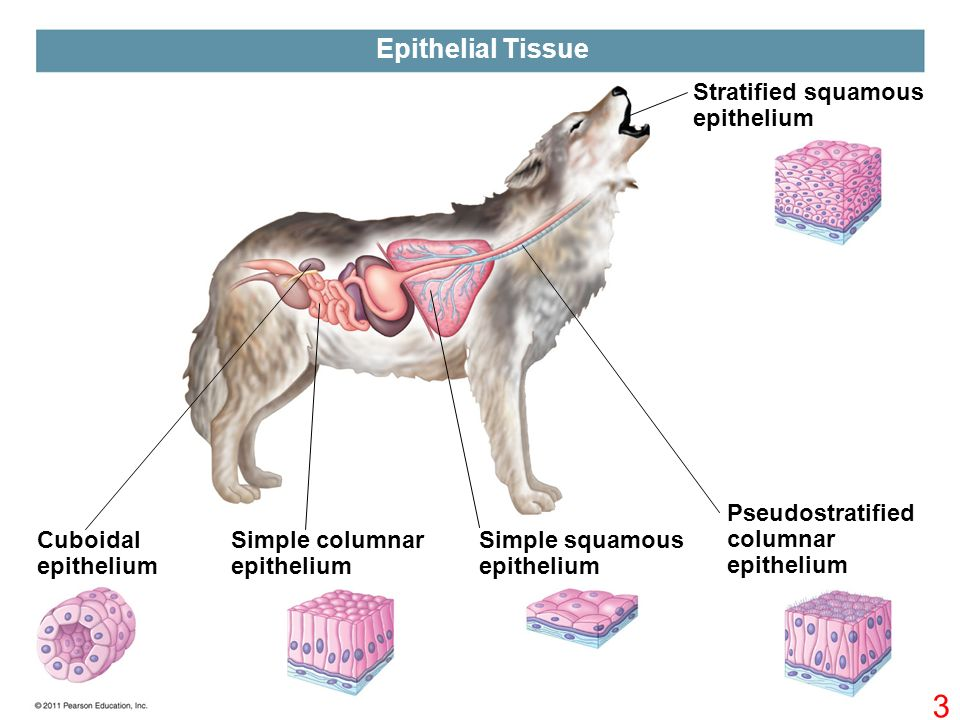 types of tissue epithelial tissue connective tissue muscle